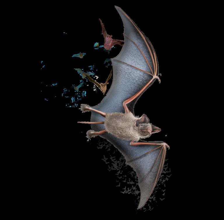 mexican freetsail bats